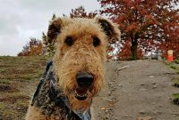 Airedale Terrier Mix