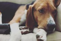 American Foxhound Puppies For Sale