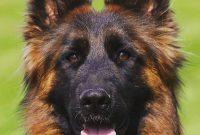 American Kennel Club Dog Breeds