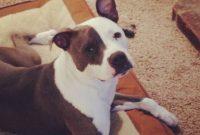 American Pit Bull Terrier Kennels