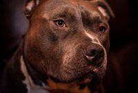 American Pitbull Terrier Temperament