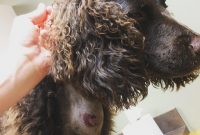 American Water Spaniel For Sale