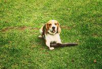 Beagle Chihuahua Mix