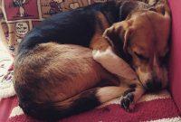 Beagle Temperament
