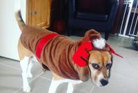 Beagle Terrier Mix