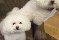 Bichon Frise Dog For Sale