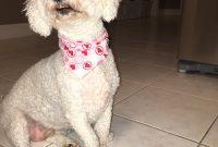 Bichon Frise X Poodle