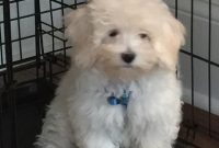 Bichon Poodle For Sale