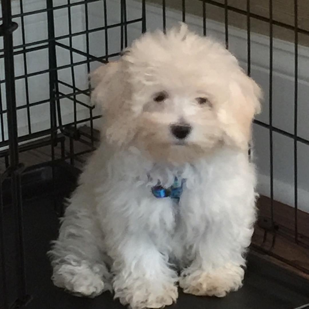 Bichon Poodle For Sale