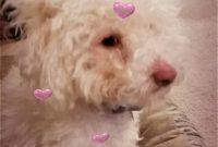 Bichon X Poodle