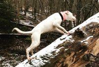 Dogo Argentino Temperament