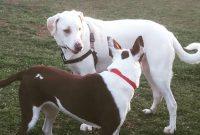 Dogo Argentino Vs Pitbull