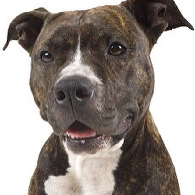 Utility Dog Breeds Pictures and Names