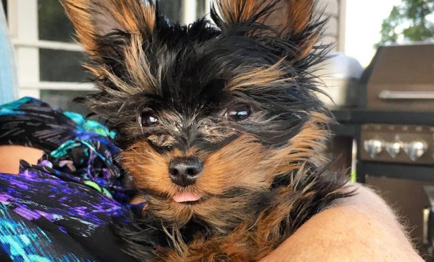 Pictures Of A Teacup Yorkie