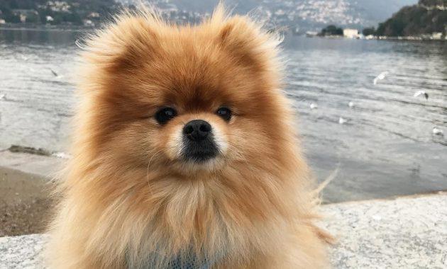 Show Me Pictures Of Pomeranians