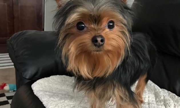 pictures of teacup yorkies full grown