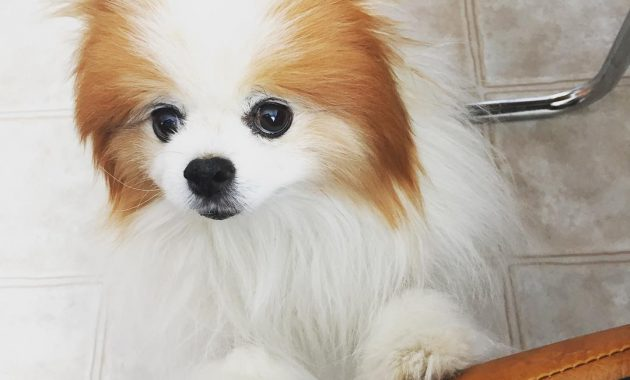 pomeranian dog price