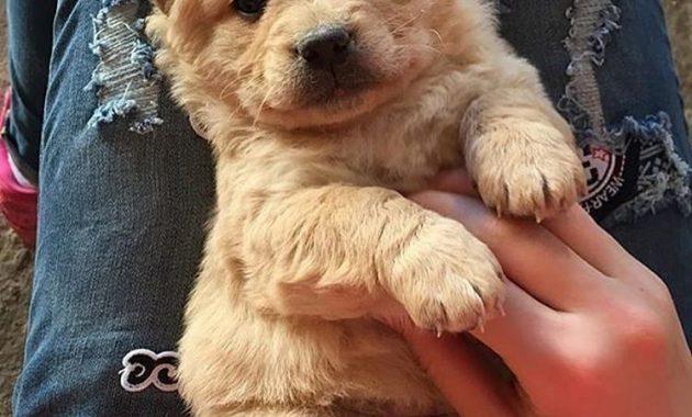 cheap golden retriever puppies for sale