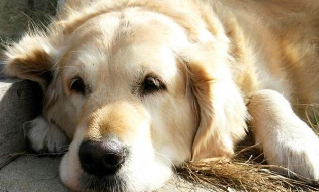 owning a golden retriever pros and cons
