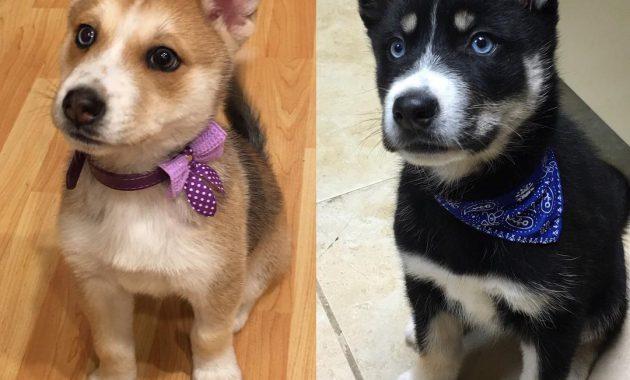 Gerberian Shepsky Puppies For Sale