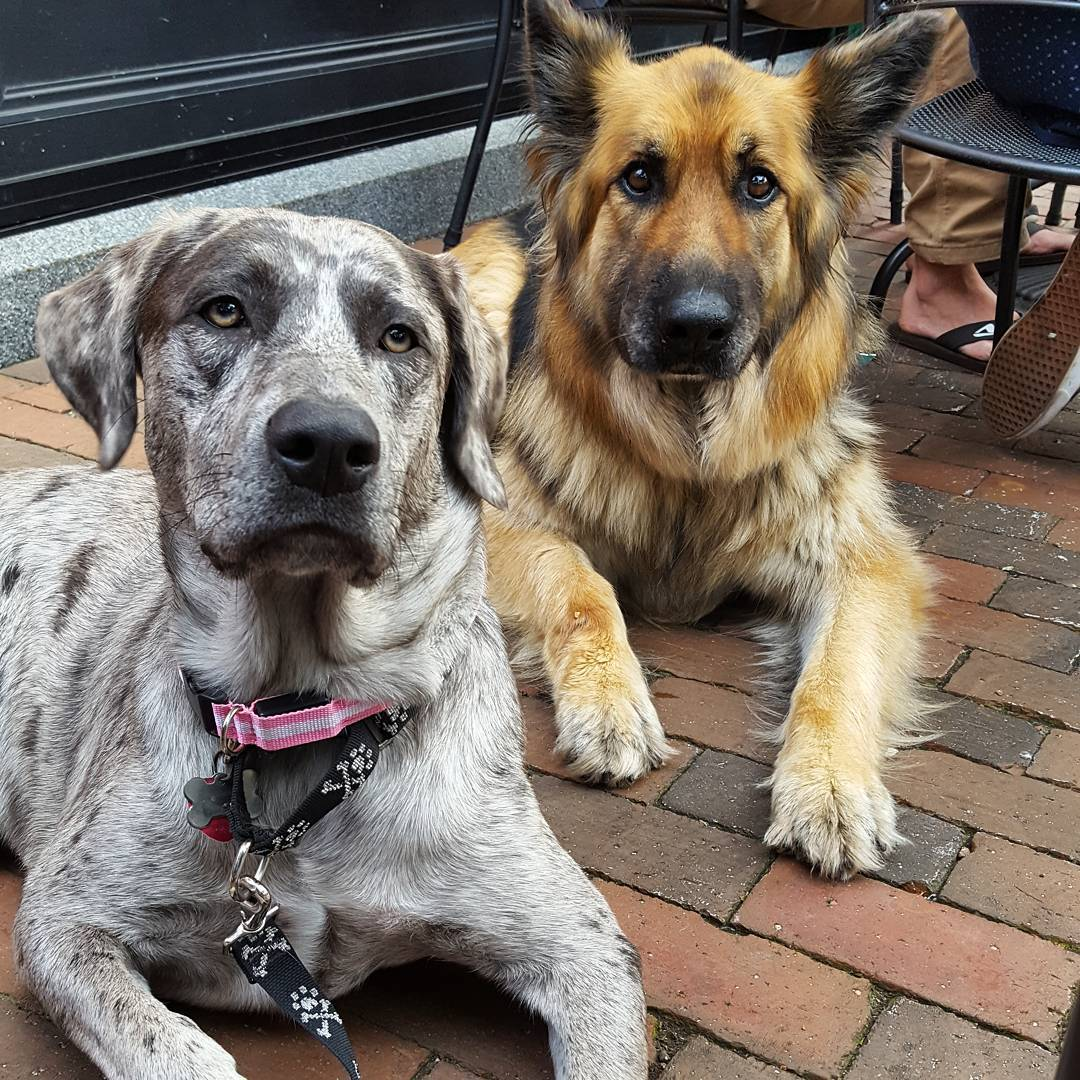 free great dane to good home