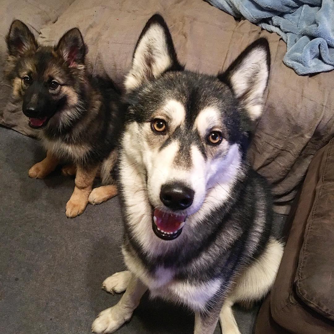 gerberian shepsky puppies for sale ohio