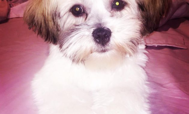 havanese shih tzu mix full grown