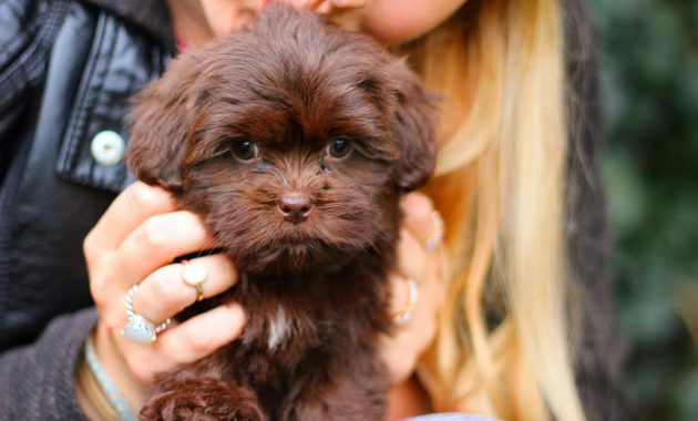 havanese shih tzu mix puppies for sale