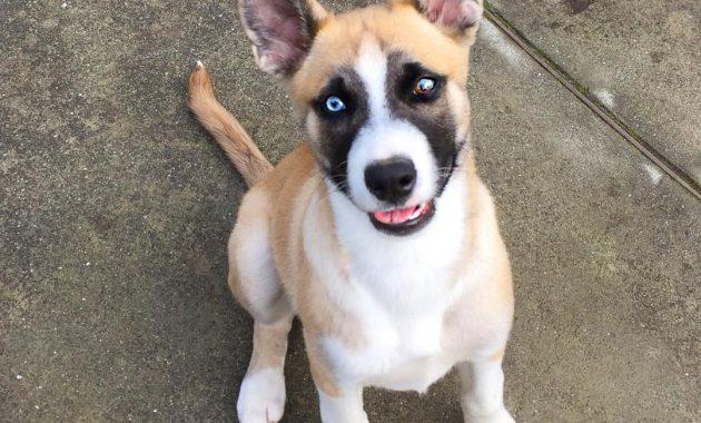 husky pitbull mix puppies