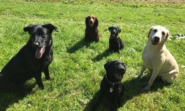 labrashepherd puppies for sale