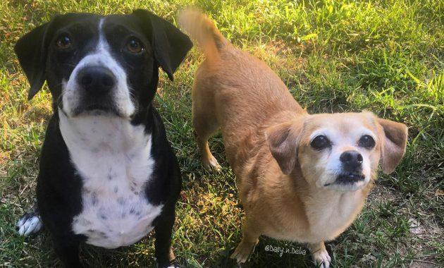 peagle breeders ny