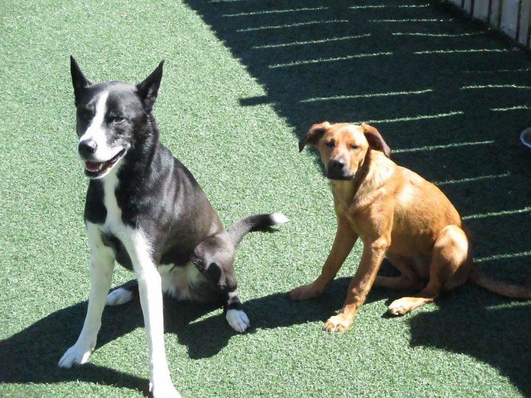 pitbull husky mix puppies for sale near me