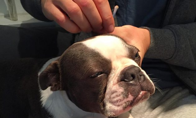 Ear Mites On Dogs