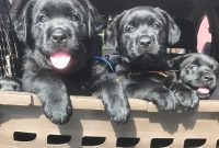 Labs For Sale Near Me