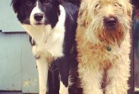 Purebred Border Collie Puppies For Sale