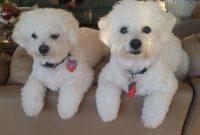 bichon frise puppies price