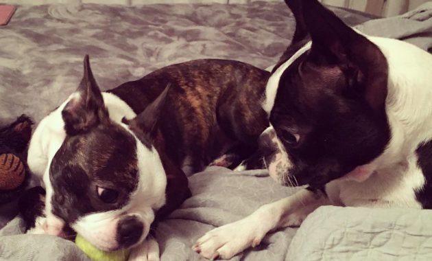 boston terrier for sale craigslist