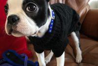 boston terrier puppies price