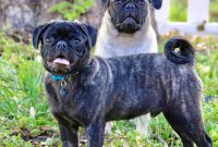 cheap pugs for sale
