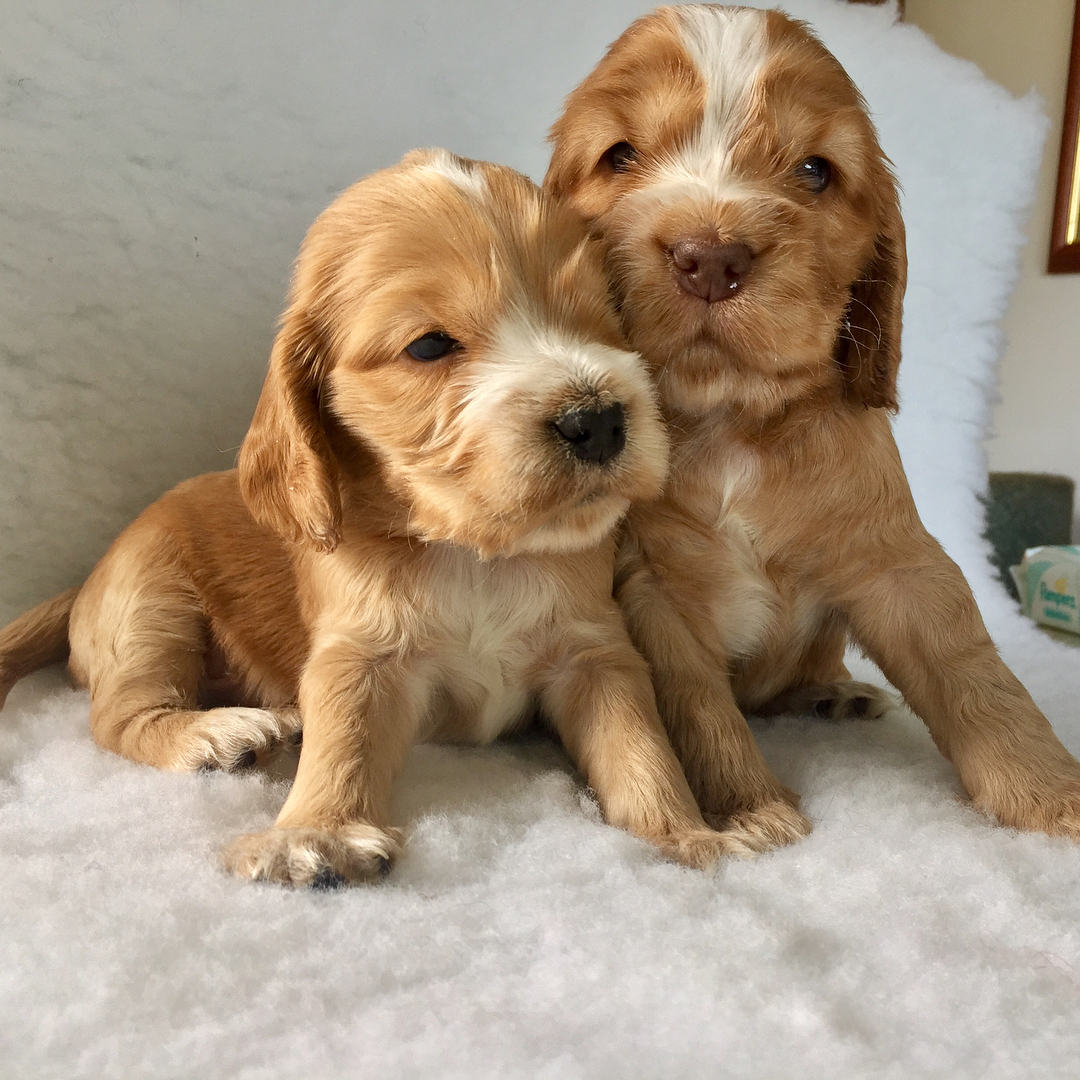 Beautiful golden cocker spaniel puppies for sale Germany