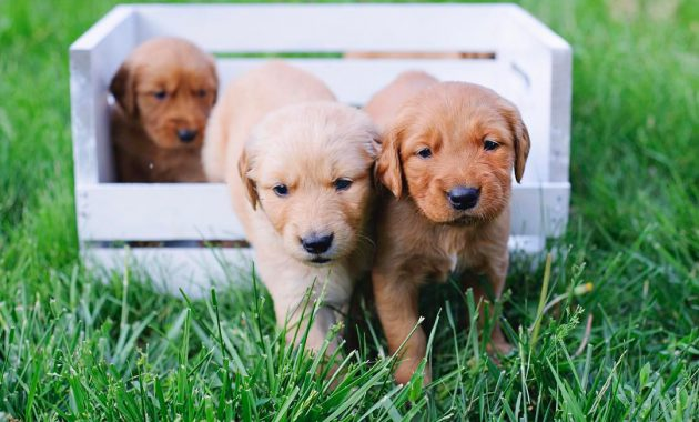 dark red golden retriever puppies for sale