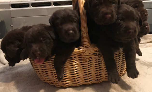 english chocolate lab puppies for sale