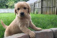 golden retriever puppies illinois