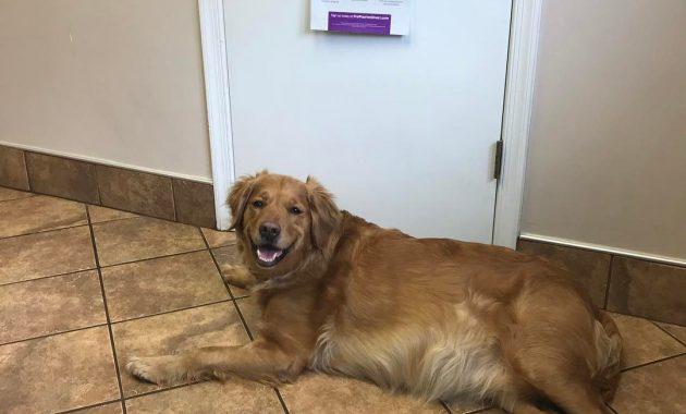 golden retriever puppies nj