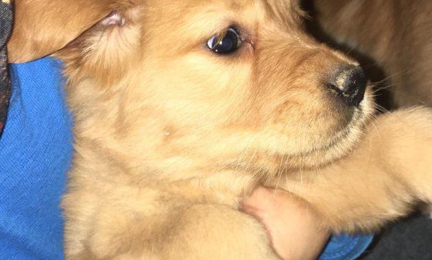 golden retriever puppies price