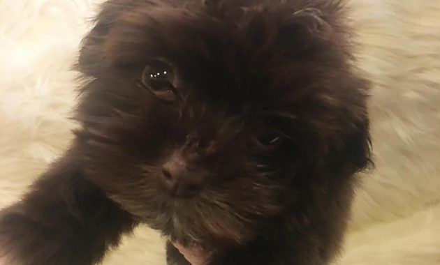 havanese puppies for sale craigslist
