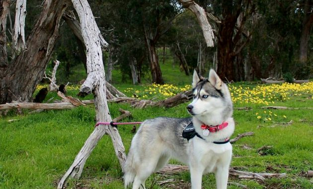 husky puppies information
