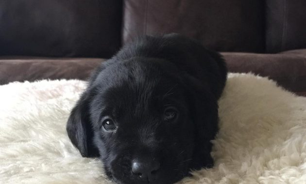 lab puppies for sale in michigan