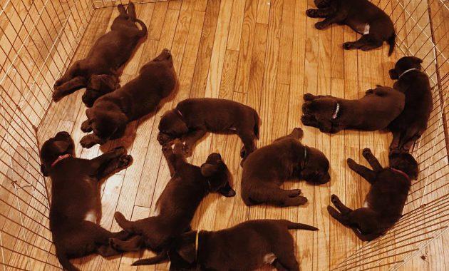 labrador puppies for adoption