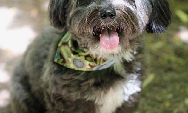 mini havanese puppies for sale